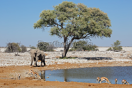 elephant and springbok antelopes