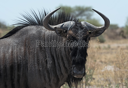 blue wildebeest in nxai pan national