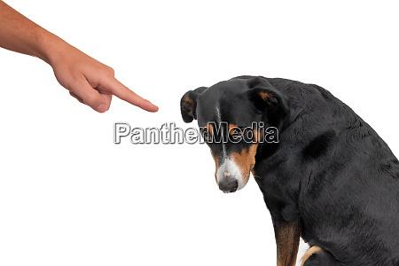 bad appenzeller hund der vom besitzer