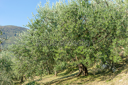 old olive trees in italy
