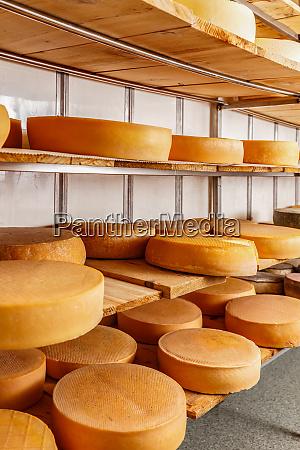 several mature cheese wheels