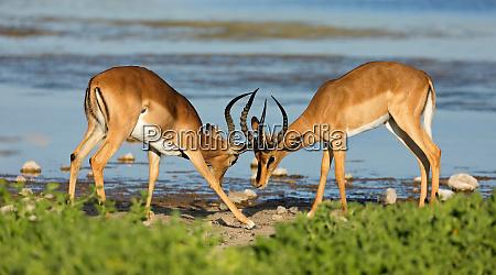 impala antelopes fighting etosha