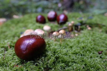 buckeye seeds on moss