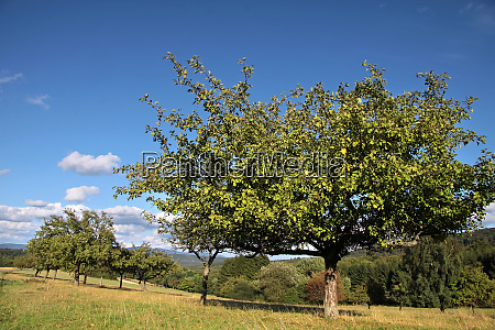 orchard in summer time