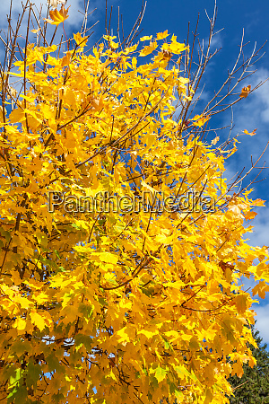 magnificent maple tree