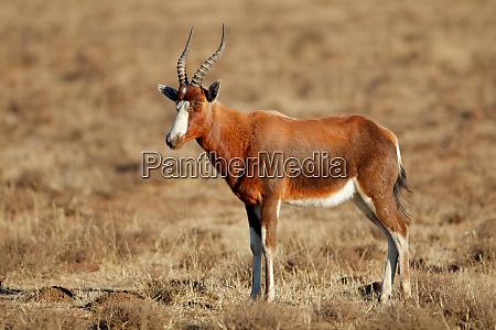 blesbok antelope in grassland