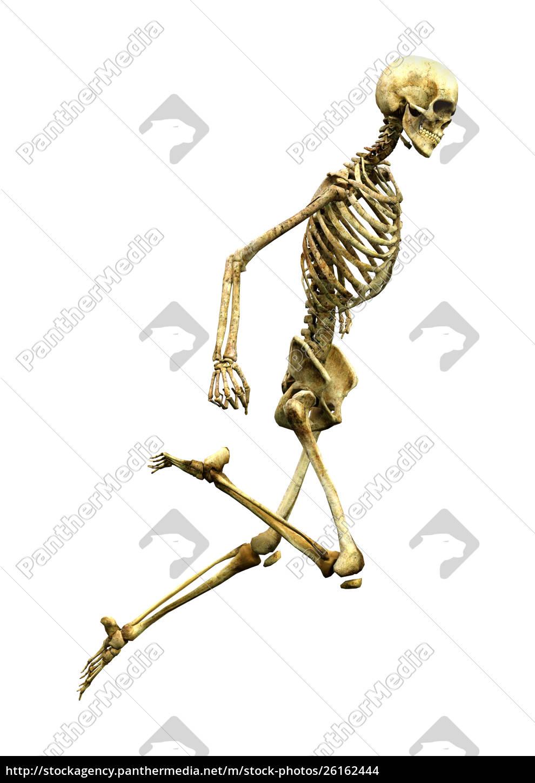 3d Rendering Human Skeleton Auf Wei Lizenzfreies Foto 26162444