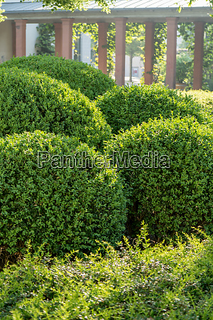 boxwood balls cut into shape