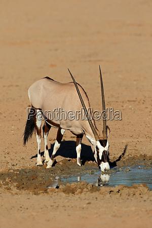 gemsbok antelope drinking water