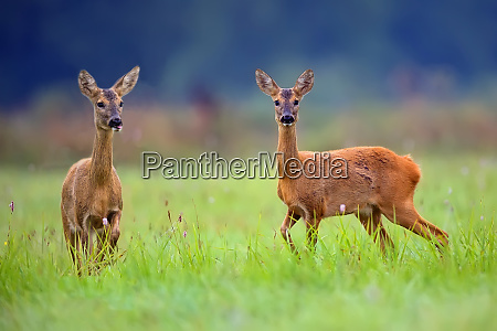 roe deers in a clearing