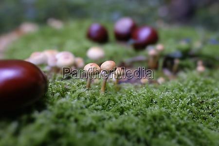 sulfur tuft and buckeye seeds on