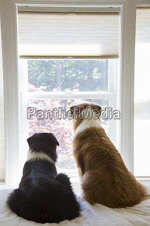 two male australian shepherd dogs sitting