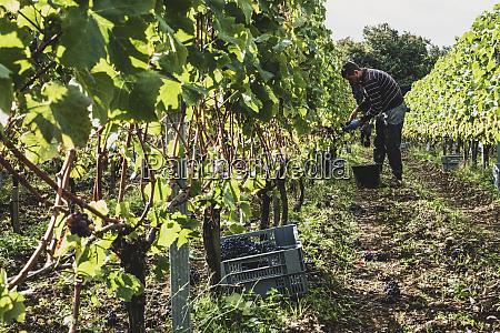 man standing in a vineyard harvesting