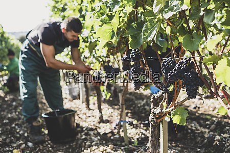 man standing in a vineyard harvesting