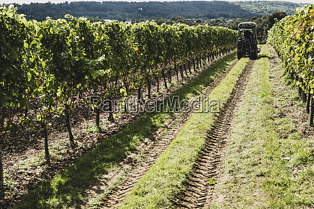 view along rows of vines on