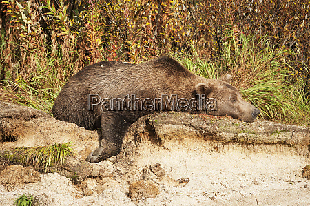 male kodiak bear ursus arctos middendorffi