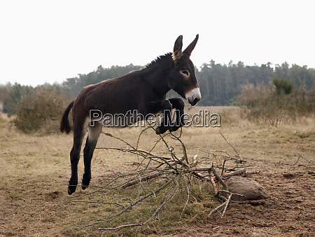 playful donkey jumping in field
