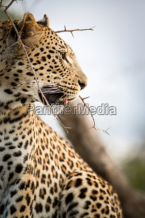 a side profile of a leopards
