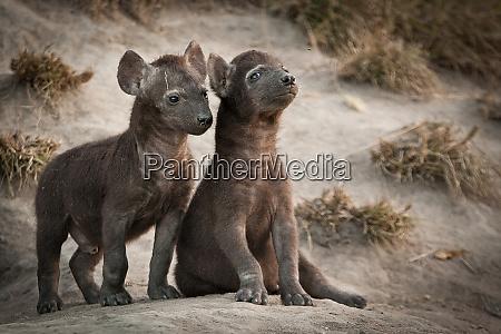 two spotted hyena cubs crocuta crocuta