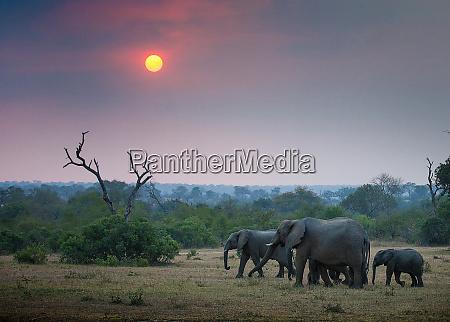 eine elefantenherde loxodonta africana spazieren durch