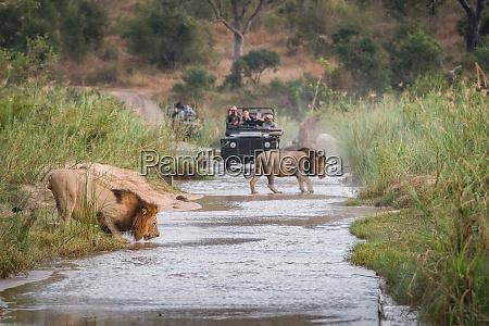 two male lions panthera leo walk