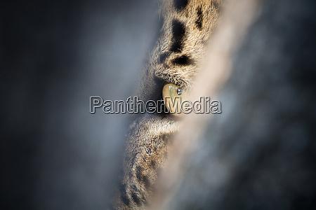 ein leopardenauge panthera pardus gruen gelb