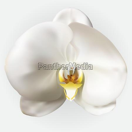 naturalistic beautiful colorful white orchidvector illustration