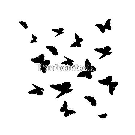 beautifil butterfly silhouette isolated on white