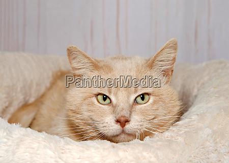 portraet einer verduennten orangefarbenen gestromten katze