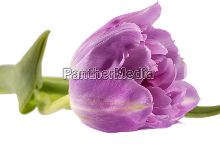 single spring flower pink tulip isolated