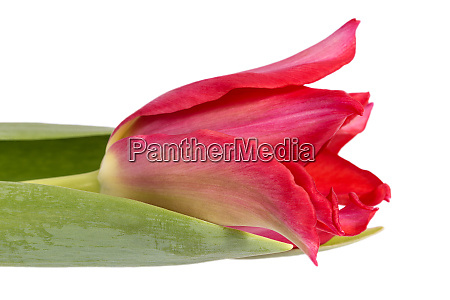 single spring flower red tulip isolated