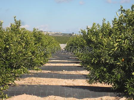 orange orchard grove