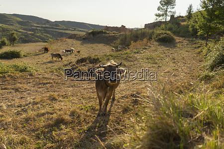 spain barcelona montserrat curious cow on
