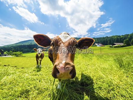 austria salzkammergut cow on meadow looking