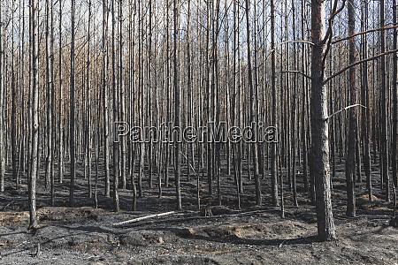 deutschland brandenburg treuenbrietzen wald nach waldbrand