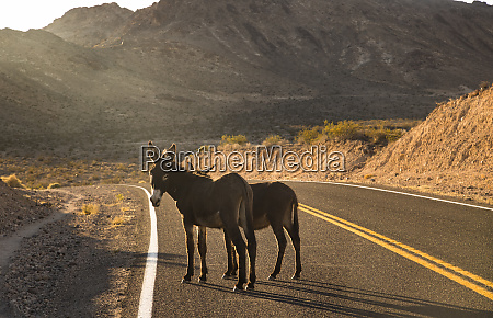 usa california death valley donkeys on