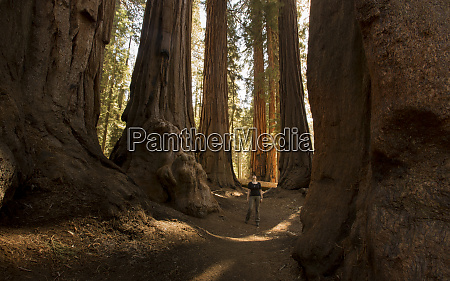 usa california sequoia national park sequoia