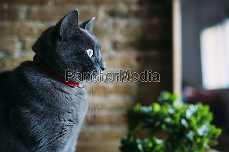 russian blue cat looking out the