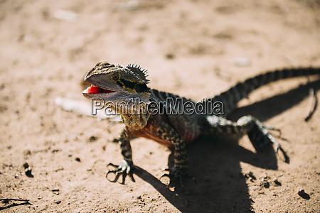 australia queensland brisbane portrait of iguana