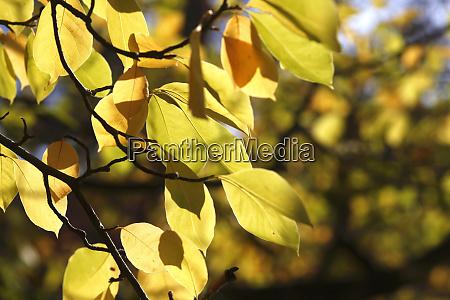 saucer magnolia leaves in autumn