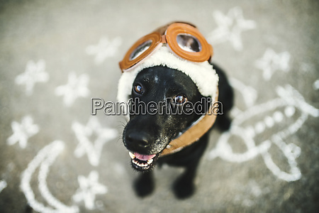 portrait of black dog wearing flying