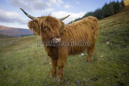 uk scotland highlands highland cattle on
