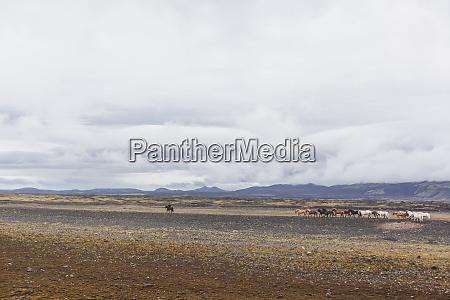island hochland von island landmannalaugar islandpferde