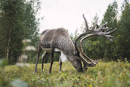 finland lapland reindeer grazing in rural