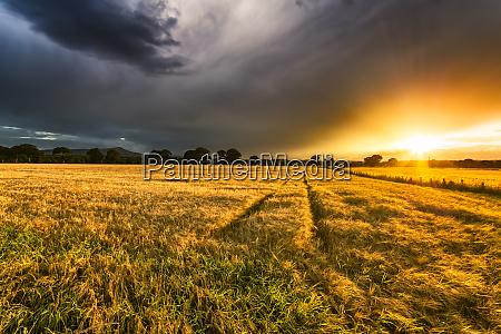 uk scotland fife field of barley