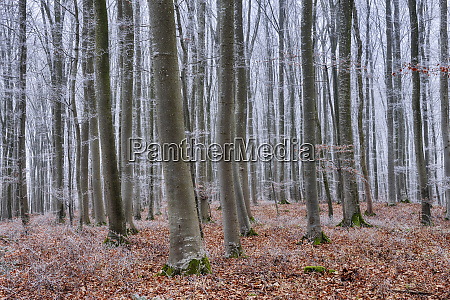 hoar frost at beech forest