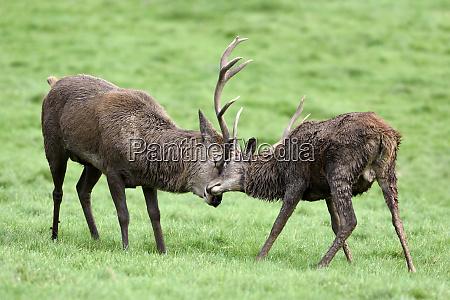 england two red deer fighting cervus