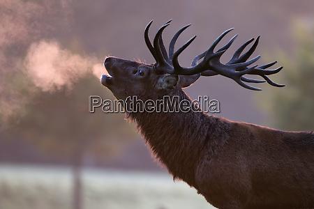england red deer rutting cervus elaphus