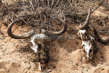 suedafrika aquila private game reserve schaedel