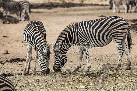 suedafrika aquila private game reserve zebras